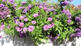 Fiori di fioritura e Osteospermum immagini stock