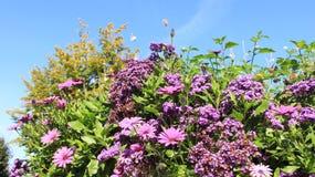 Fiori di fioritura e Osteospermum rosa fotografia stock libera da diritti