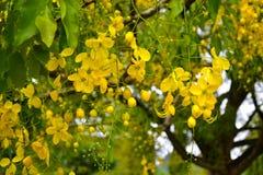 Fiori di fioritura gialli dell'albero Giardini botanici reali, Kandy La Sri Lanka Fotografia Stock