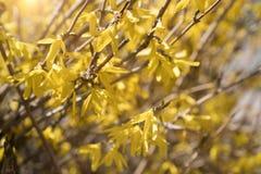 Fiori di fioritura gialli di forsythia in primavera E r immagini stock libere da diritti