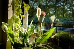 Fiori di fioritura luminosi della calla su una finestra nella casa contro il fondo del manege immagine stock libera da diritti