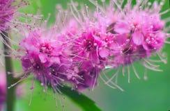 Fiori di fioritura di salicifolia dello Spiraea di porpora immagine stock
