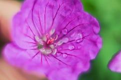 Fiori di fioritura di salicifolia dello Spiraea di porpora immagini stock libere da diritti