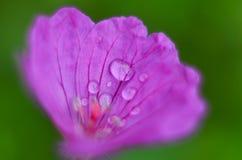 Fiori di fioritura di salicifolia dello Spiraea di porpora fotografie stock