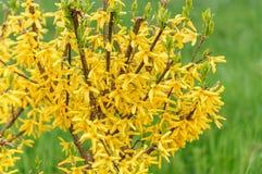 Fiori di forsythia davanti con ad erba verde Bell dorata, intermedia di forsythia x, europaea che fiorisce nel cespuglio del giar Immagini Stock
