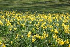 Fiori di giallo del campo di Narcis Immagine Stock