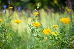 Fiori di giallo del prato di estate Fotografie Stock Libere da Diritti