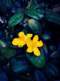Fiori di giallo della pianta di fortuna dell'albero dei soldi fotografia stock libera da diritti