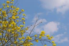 Fiori di giallo di chrysotricha di Tabebuia Immagine Stock