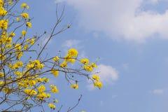 Fiori di giallo di chrysotricha di Tabebuia Immagini Stock Libere da Diritti