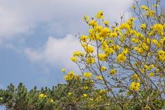 Fiori di giallo di chrysotricha di Tabebuia Fotografia Stock Libera da Diritti
