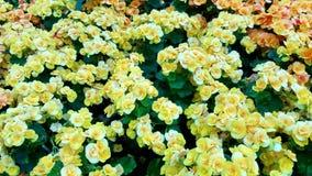 Fiori di giallo di Gloden Fotografie Stock