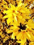 Fiori di giallo di suspensa di forsythia  immagine stock libera da diritti