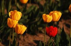 Fiori di giallo questo anno, un rosso dall'anno scorso Immagine Stock Libera da Diritti