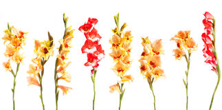 Fiori di Gladiolius in una linea Fotografia Stock