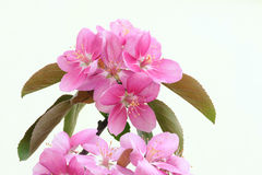 fiori di Granchio-Apple Fotografie Stock Libere da Diritti