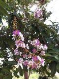 Fiori di Inthanin o albero di San Bartolomeo della regina Immagine Stock
