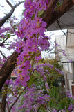 Fiori di Inthanin o albero di San Bartolomeo della regina fotografia stock