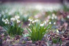 Fiori di inverno della molla Fotografie Stock Libere da Diritti