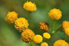 Fiori di Jacobaea vulgaris. Immagini Stock