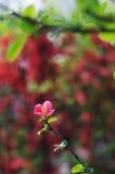 fiori di lagenaria di chaenomeles fotografia stock