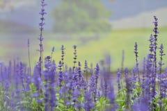 fiori di lavanda Fotografia Stock Libera da Diritti