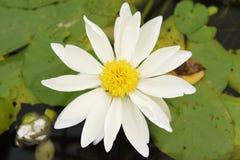 Fiori di loto bianco Fotografie Stock