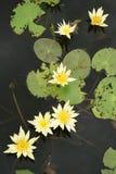Fiori di loto bianco Immagini Stock Libere da Diritti