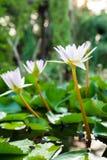 Fiori di loto bianco Fotografia Stock Libera da Diritti
