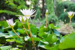 Fiori di loto bianco Immagine Stock