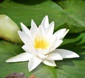 Fiori di loto bianco in acqua fotografia stock libera da diritti