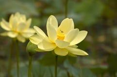 Fiori di loto con l'ape di volo Fotografia Stock