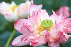 Fiori di loto della peonia, primo piano Fotografie Stock
