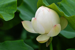 Fiori di loto dentellare del fiore Immagini Stock Libere da Diritti