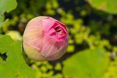 Fiori di loto germoglianti rosa Immagine Stock Libera da Diritti