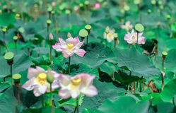 Fiori di Lotus che fioriscono in un campo fotografie stock