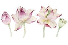 Fiori di Lotus dipinti in acquerello Fotografie Stock