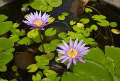 Fiori di Lotus nella superficie dell'acqua Fotografie Stock Libere da Diritti