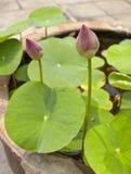Fiori di Lotus nella superficie dell'acqua Fotografia Stock Libera da Diritti