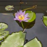 Fiori di Lotus nella superficie dell'acqua Immagine Stock Libera da Diritti