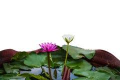 Fiori di Lotus porpora e bianco nel giardino Fotografie Stock Libere da Diritti