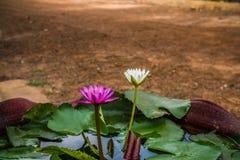 Fiori di Lotus porpora e bianco nel giardino Immagini Stock Libere da Diritti