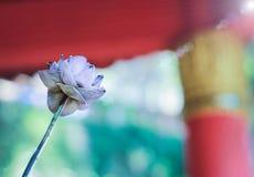 Fiori di Lotus su sfondo naturale Immagine Stock
