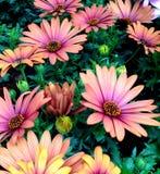 Fiori di Marguerite Daisy del capo colorati rosa marrone rossiccio Immagini Stock Libere da Diritti