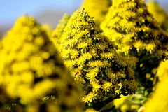 Fiori di massa gialli Fotografia Stock