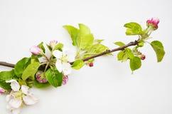 Fiori di melo con le foglie verdi fotografie stock