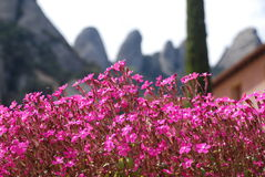 Fiori di Montserrat fotografie stock