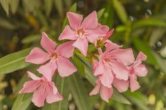 Fiori di nerium oleander Immagine Stock Libera da Diritti
