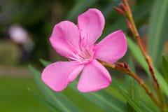 Fiori di nerium oleander di rose Fotografie Stock Libere da Diritti