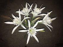 Fiori di notte bianca immagini stock libere da diritti